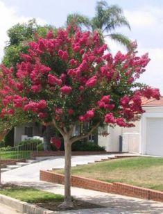 Resedá - (Lagerstroemia indica) – floresce de outubro a março. Porte: de 4 a 6 metros; copa com diâmetro de mais ou menos 4 metros.