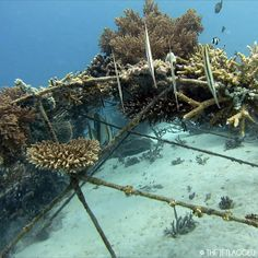 You can help us build an artifical reef in Gili Trawangan, Indonesia and give fishes a new home! On Biorocks, corals grow 2-6 times faster! Please donate and share: http://www.indiegogo.com/projects/the-jetlagged-build-a-biorock-reef-gili-trawangan #givefishesahome #biorock #artificalreef #thejetlagged #gilitrawangan #oceanspirit #saveouroceans #padi #paditv