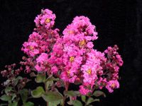 Crape Myrtle Varieties Grouped by Height