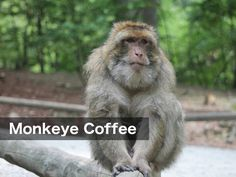 Gambling monkeys help reveal brain region linked to risky decisions Rhesus Monkey, Types Of Coffee Beans, Pet Monkey, Coffee Type, Fun Workouts, Workout Tips, Vintage Coffee, New Tricks, Home Brewing