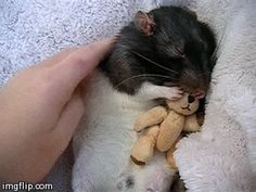 .When rats feel totally safe , they sleep very soundly .....