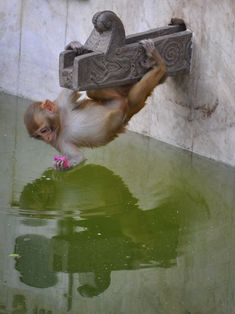 Cute little monkey hanging on the water spout. Looks like he is getting a sip of water. He is so adorable!