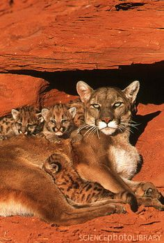 View of a female mountain lion (Felis concolor) with her kittens under a redrock ledge. The mountain lion is also known as the puma, and the cougar. A fully grown mountain lion has a body length of metres and a body weight of up to 100 kg. Big Cats, Cats And Kittens, Cute Cats, Animals And Pets, Baby Animals, Cute Animals, Wild Animals, Beautiful Cats, Animals Beautiful