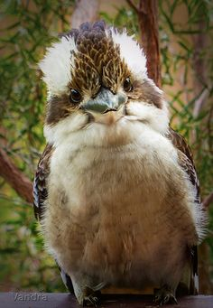 ~~Good Day | kookaburra by vanndra~~