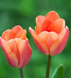 The most beautiful new tulip in a soft-chalky orange. I saw this in a Dutch friend's garden and had to grow it.