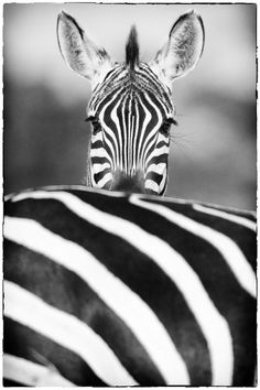 Peek-a-boo! Black and white Zebra