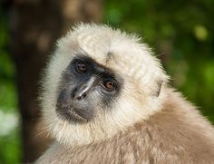 Langur Monkey Up Close by Nila Newsom
