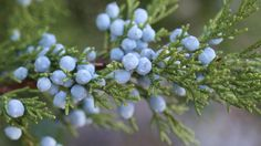 Essential oil of the month - Juniperberry