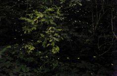 """Arrivano piano piano dal bosco, una dopo l'altra, disegnano orbite nel buio, conoscono la loro danza a memoria. Amoreggiano tra cielo e terra. Come stelle basse, curiose. Per i bambini sono """"le fate del bosco"""". Basta alzare lo sguardo nel parco di Villa Ghigi e lasciarsi sorprendere LEGGI L'ARTICOLO"""
