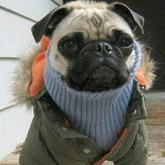 "❄ ""Is winter over yet?"" ❄  www.jointhepugs.com/  #pug #pugpower #pugsnotdrugs #puglife #puglove #cuteness #pugs #puglover #dogs #animals"