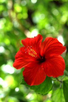 Hibiscus Plant, Hibiscus Flowers, Red Flowers, Colorful Flowers, Beautiful Rose Flowers, Amazing Flowers, Lotus Flower Pictures, Bonsai Trees For Sale, Flower Aesthetic