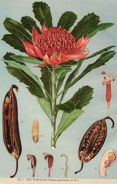The Waratah, Telopea speciossima