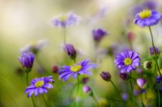 Daisies by Mandy Disher on 500px