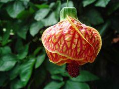 Abutilon striatum, também chamada de: Campainha, Lanterna-japonesa, Sininho #jardimdecasa