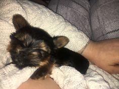 Teacup Terrier, Fur Slides, Dogs, Animals, Animales, Animaux, Doggies, Animais, Dog