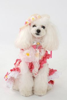 Toy Poodle Dogs Puppy Hound Pups Dog Puppies