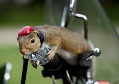 Zipper the #Squirrel on a #bike.  let me repeat that squirrel on a bike. If you know me at all, these are two great things by themselves but together - WOW!