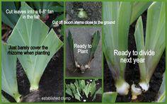 Dividing and planting Iris_rhizomes  http://1.bp.blogspot.com/_LSqUyDnbcEQ/TDXdZuwXTZI/AAAAAAAAAWQ/dxzlWSo9raQ/s1600/Planting+Dividing+Iris.jpg
