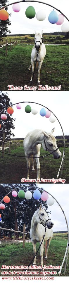 Desensitizing your horse to Balloons: With your lead rope wait for your horse to get more comfortable.  Ask your horse to take a step, by lifting the rope, and bringing it gently towards  your body. Not a pull as the horse  will pull against it, rather a gentle move of the rope in your direction. Let the rope slack immediately; wait, then repeat. Wait, wait, wait! 2. Horses need time to  investigate. 3. Skeeter's attention shifted, it's time to try walking through. www.trickhorseskeeter.com