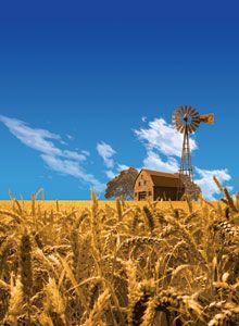 barn in wheatfield