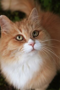 Karappo What Does Your Pet Inform You? If the Cats can talk, their homeowners could Cute Little Kittens, Kittens Cutest, Ragdoll Kittens, Funny Kittens, Bengal Cats, Pretty Cats, Beautiful Cats, Orange Tabby Cats, Matou