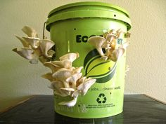 Grow edible oyster mushrooms out of a 5-gallon bucket with our Mushroom Garden Kit! Simple!
