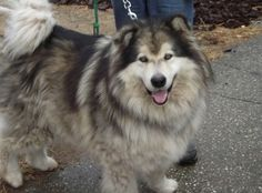 Malamute - gorgeous!