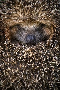 Sleeping #hedgehog.