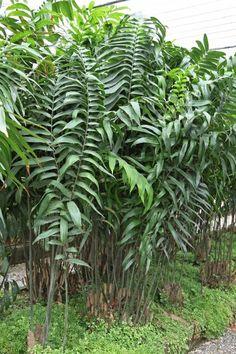 Zamia variegata