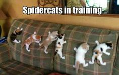 Spidercats, spidercats, friendly neighborhood spidercats!