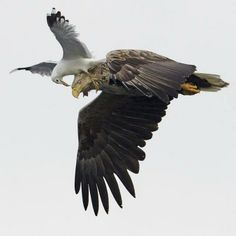 White-tailed Sea Eagle in flight being attacked by a Common Gull Love Birds, Beautiful Birds, Animals Beautiful, Funny Animal Pictures, Funny Animals, Cute Animals, Hilarious Pictures, Random Pictures, Eagle In Flight