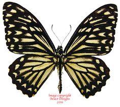 Chilasa clytia dissimillis (India) A-