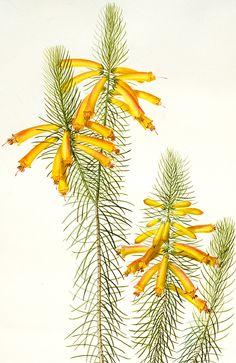 Erica Grandiflora by Pierre Joseph Redoute