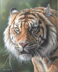 Sumatran Tiger. Oil on Linen 12 x 10 inches. SOLD.           Oil painting of a tiger.