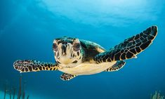 CAN LED LIGHTS SAVE SEA TURTLES? : Hundreds of thousands of sea turtles are accidentally killed by fishing gear—caught on dangling hooks or entangled in nets—every year. But a light with the right wavelength might help turtles see and avoid the nets while still catching fish….
