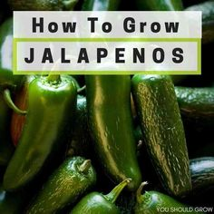 Most Popular Pepper Spare No Cost At Any Cost 100 Jalapeno Chile Pepper Fast Growing Diy Home Garden Vegetable Plant Bonsai
