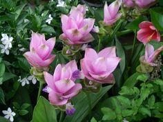 Fleurs de curcuma. - next picture