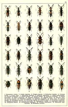 1. Myrmedonia collaris 2. Autalia impressa 3. Falagria obscura 4. Bolitochara lunulata 5. Tachyusa ferialis 6. Ocalea badia 7. Hygronoma dimidiata 8. Phytosus nigriventris 9. Atheta melanocephala 10. Oxypoda lividipennis 11. Placusa pumilio 12. Dinarda dentata 13. Homaeusa acuminata 14. Oligota flavicornis 15. Silusa rubiginosa 16. Atemeles paradoxus 17. Diglossa mersa 18. Dinopsis erosa 19. Leptusa ruficollis 20. Thiasophila angulata 21. Chilopora longitarsis 22. Silusa rubra