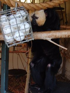 Saki monkey puzzle feeder.  Mealworms in wiffle balls in cage feeder.  Also suitable for marmosets and tamarins