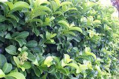bushes shrubs and plants - Bing Images Florida Landscaping, Garden Landscaping, Evergreen Shrubs, How To Grow Taller, Garden Landscape Design, Hedges, Garden Plants, Bing Images, Fragrance