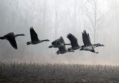 I took this in the spring...#waterfowlhunting #goosehunting #kennebecvalley #mainewildlife