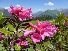 Alpenrosen (Rhododendron ferrugineuem) auf dem Weg von der Ehenbichler Alm zur Raaz-Alpe
