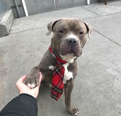 HUTCH - 14822 - - Brooklyn  TO BE DESTROYED 12/27/17 **NEW HOPE RESCUE ONLY** -  Click for info & Current Status: http://nycdogs.urgentpodr.org/hutch-14822/