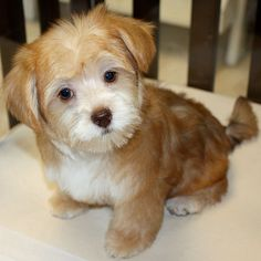 Morkie Hairstyles Pictures: decided to keep Tootsie looking more like a Maltese - she looks so small!
