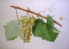 Furmint from from 'Ampélographie française', by Victor Rendu. Paris, 1857. Ampelographies describe and often illustrate grape varieties. The hand-coloured lithographs of Eugene Grobon make this book possibly the most prized of the great ampelographies of the nineteenth and early twentieth centuries.