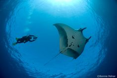 The Revillagigedos Archipelago, (Socorro Island) is famous for up close and personal encounters with the Giant Pacific manta ray, which can grow to 22 feet from wingtip to wingtip.
