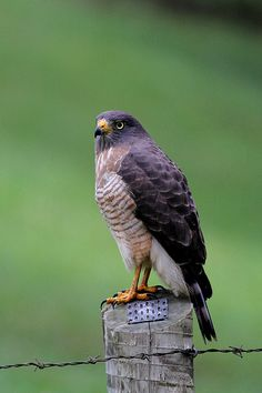Roadside Hawk (Rupornis magnirostris) | REGUA, Rio de Janeir… | Flickr