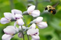 American bees are an endangered species for the first time in U.S. history.  Cheerios has launched a program to save a species of American bees.  The U.S. Fish and Wildlife Service (FWS) added the Rusty Patched Bumble Bee to the endangered species listin January following a sharp decline in bee sightings