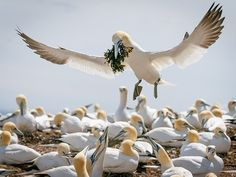 Picture of a northern gannet bringing nest-building material to its mate, Bonaventure Island, Quebec