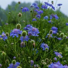 Butterfly Blue Scabiosa Compact and neat, this clumping perennial is perfect for providing color and interest to the front of a seasonal border or mixed garden bed. Decorative containers, too, can be enhanced by the addition of scabiosas pincushion-shaped blooms. SPRINGHILL NURSERY 5-26-19